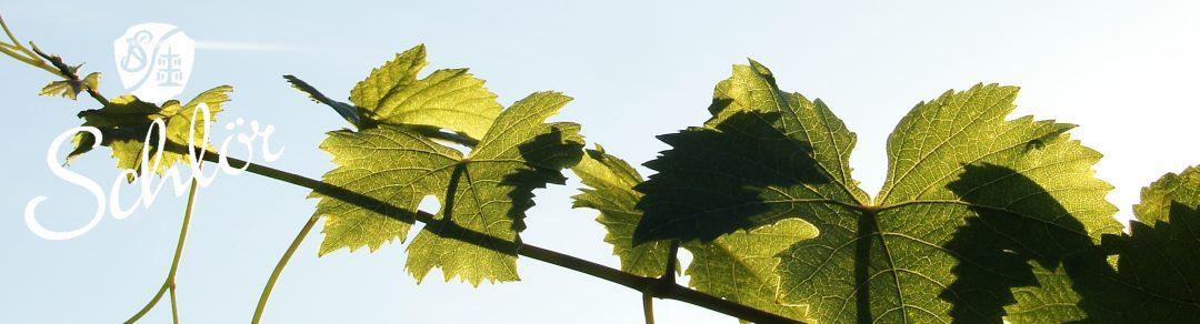 Rebe in der Sonne Weingut Schlör