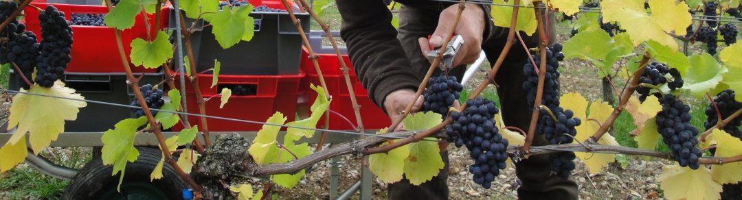 Traubenernte im Weingut Schlör